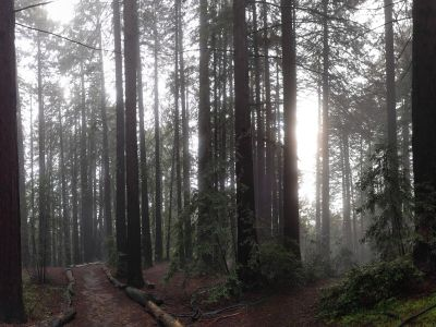 a trail lined with redwood trees through Joaquin Miller park. It is foggy but the sun is peeking through.
